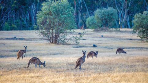 Australien-Mietwagenrundreise-Westaustralien-Margaret_River-Känguruhs.jpg