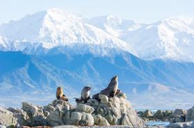 Kaikoura: Seelöwen, Wale & Süd-Alpenpanorama