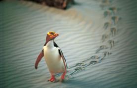 Yellow-Eyed Pinguin / Otago Peninsula