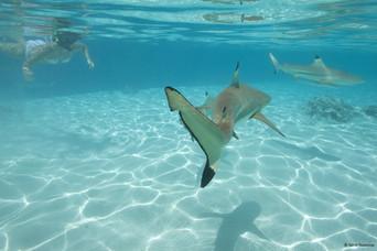 Schnorcheln mit Riffhaien