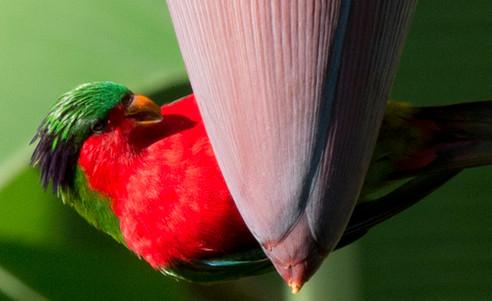 Cook_Inseln-Atiu-Lorikee-Vogel