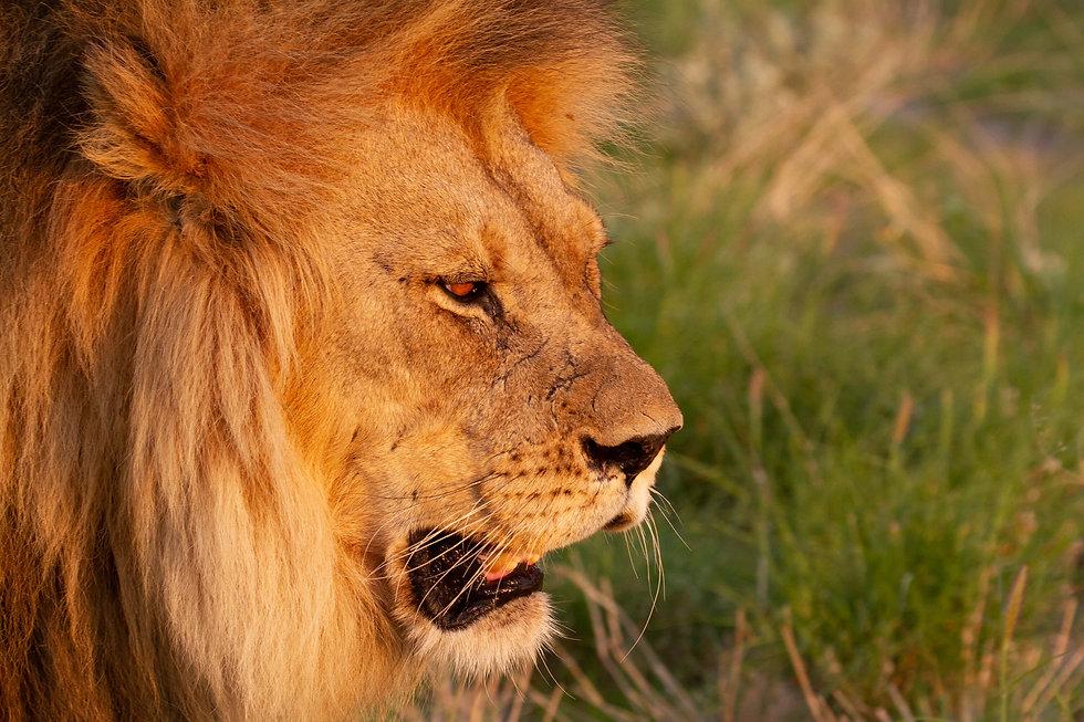 lion.klar.jpg