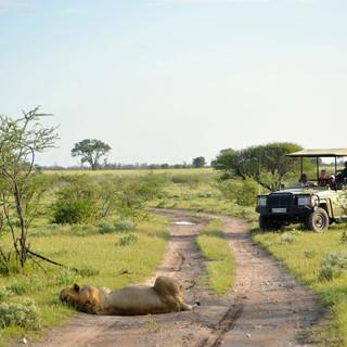 Lions blocking the road on safari.