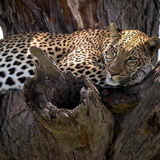 Resting leopard.
