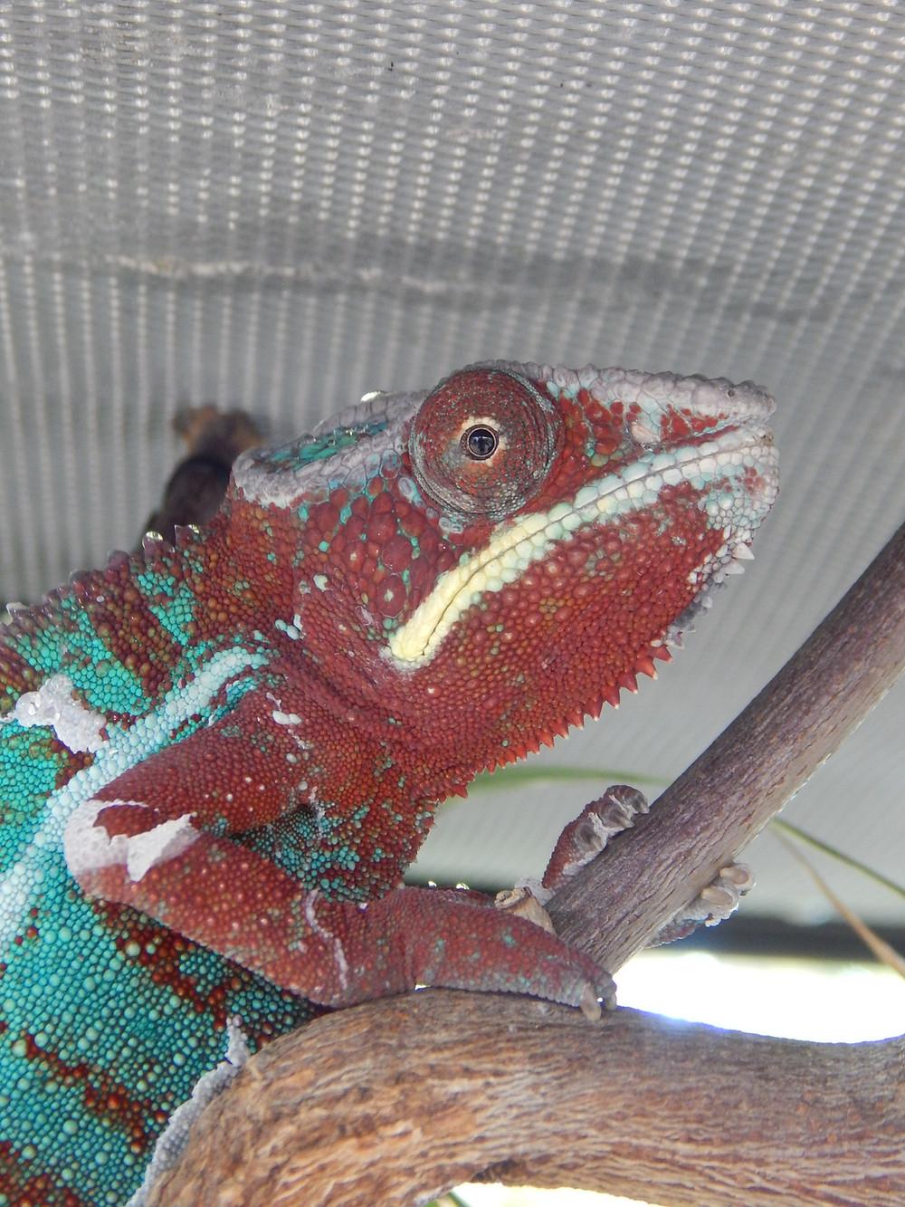 Camaleón Pantera Macho