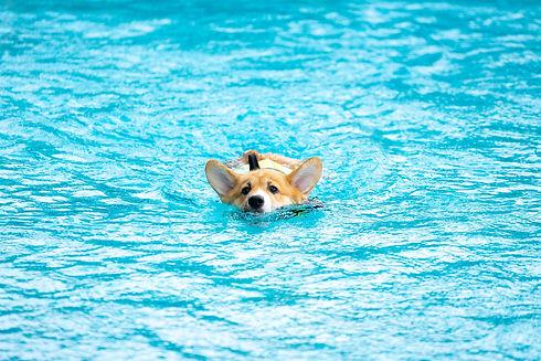 corgi-dog-puppy-play-swimming-poold.jpg