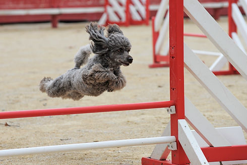 poodle-agility-competition.jpg