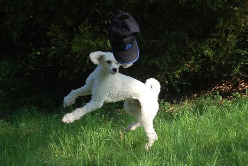 Mellanpudel Tim, hundkurser