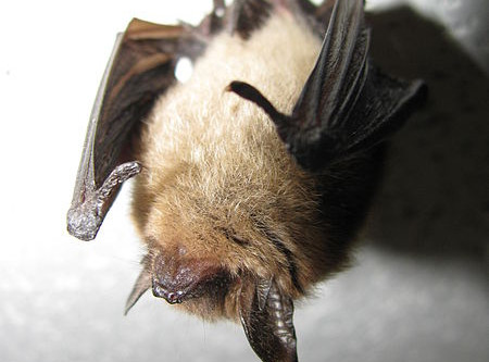 New Bat Regulations Impact Project Planning