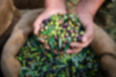Harvested fresh olives in the hands of f