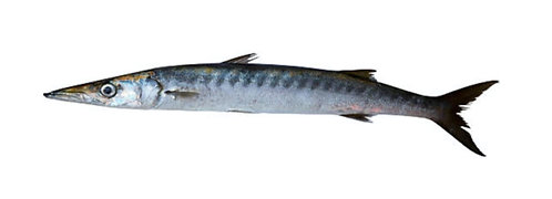 Safaid Kund (White Barracuda)