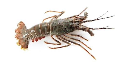 Lobster(Small)