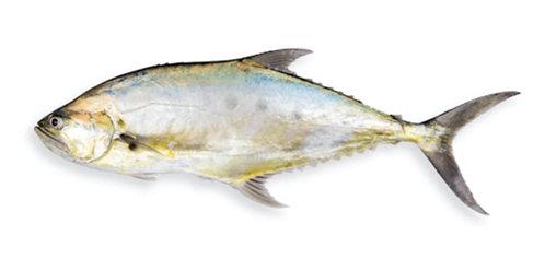 Saram/Alhari (Queen Fish)