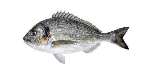 Dhandiya (Sea Bream)