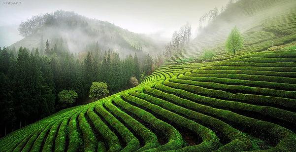 Tea Field 02.jpg