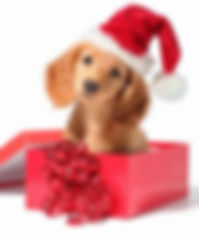 Dachshund_in_red_christmas_present_box.j