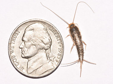 Silverfish Control Hero Pest Solutions