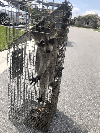 Cruelty free raccoon trapping Hero Pest Solutions