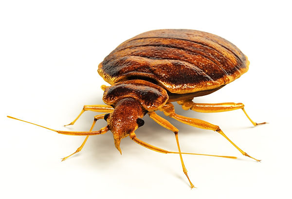 Bed Bug Control Hero Pest Solutions