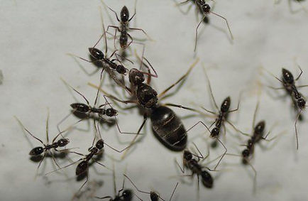 Crazy ant control Hero Pest Solutions