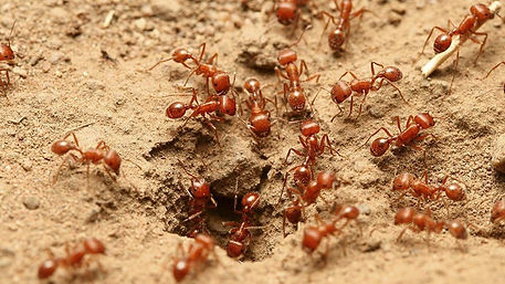 Fire Ant control Hero Pest Solutions