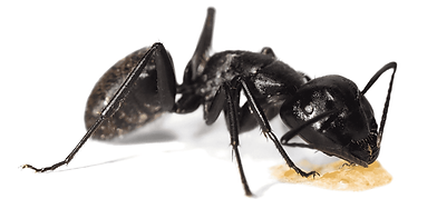 crazy ants.png