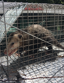 Cruelty free animal trapping in Lake Worth