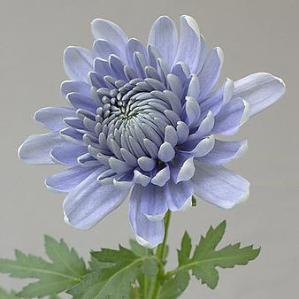 Chrysanthemum Hero Pest Solutions