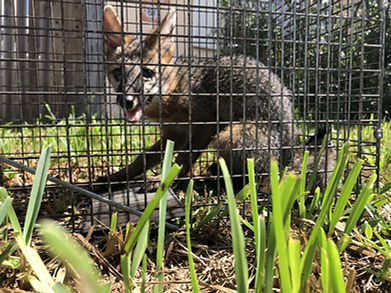 Cruelty free fox trapping Hero Pest Solutions