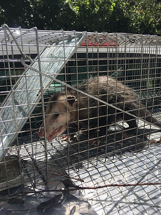 Cruelty free Possum trapping Hero Pest Solutions
