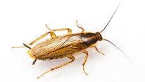 German Roach Hero Pest Solutions