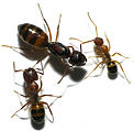 carpenter ant size_edited.jpg