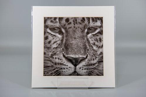 Amur Leopard Portrait