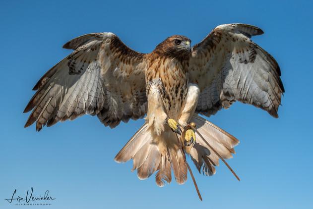 Hawk coming into land.