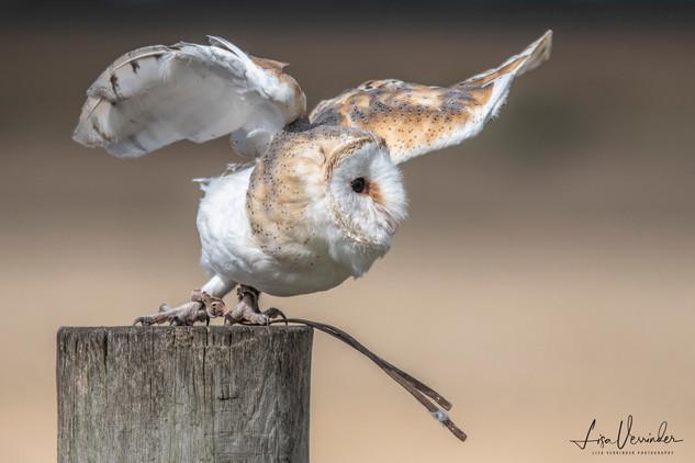 'Take Off' Barn Owl
