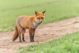 Fenland Fox