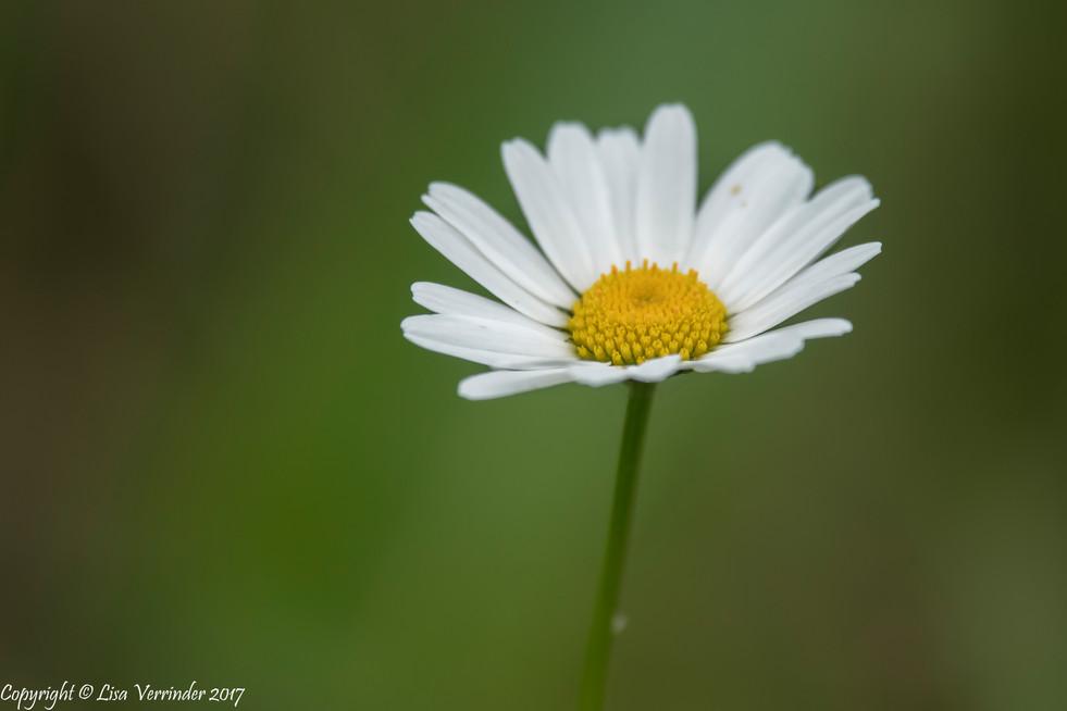 Garden Daisy