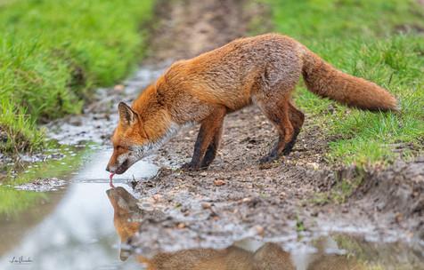 Drinking Fox