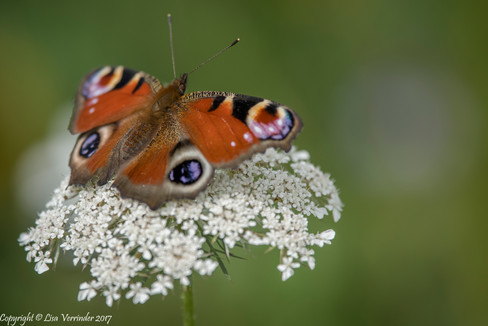 Peacock Butterfly on Cow Parsley