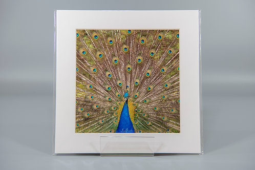 Peacock Feather Display