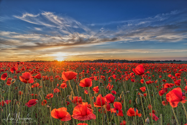 Elmswell Suffolk Poppies at Sunset