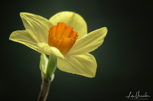 Sunsine Daffodils
