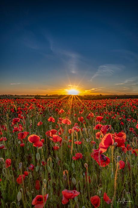 Suffolk Sunset Poppies