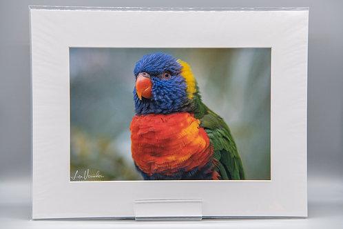 Lorikeet Parrot