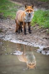 Reflective Fox