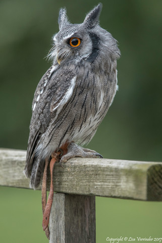 Scoops Owl