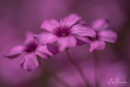 In the pink.....garden flowers