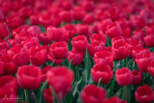Norfolk Tulips