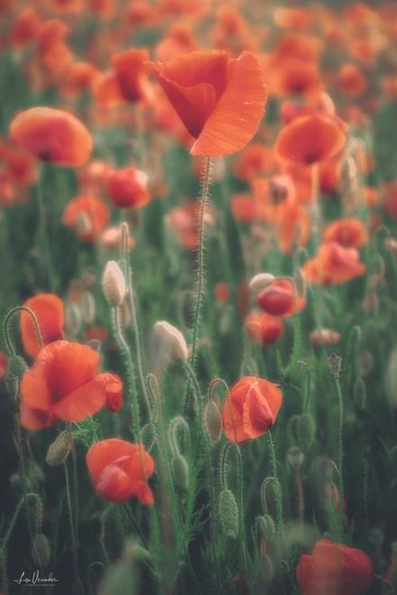 Suffolk Poppies