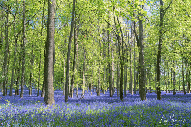 Bluebells at Dockey Wood